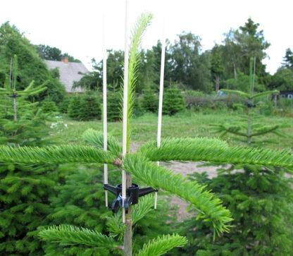Beskyttelse af grenkrans på juletræer med fuglepinde